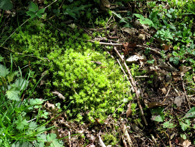 Wellenblättriges Katharinenmoos (Atrichum undulatum)  16.04.2014