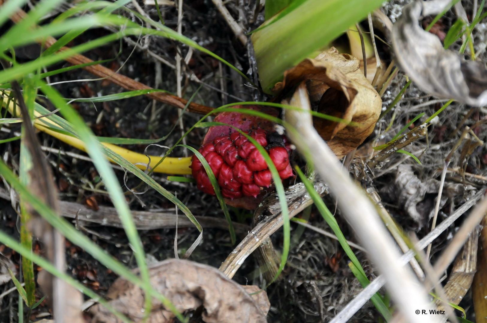 Samenstand der Drachenwurz (Calla palustris), auch Sumpf-Calla genannt 25.09.2014