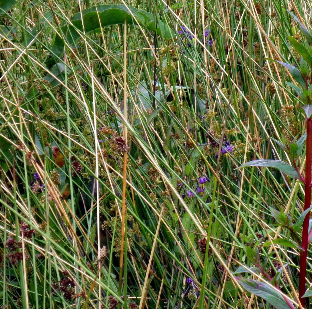 Bittersüßer Nachtschatten (Solanum dulcamara) im Gras verborgen  01.07.2014