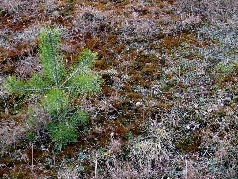 in den abgeschobenen Flächen hat sich Ceratodon purpureus (Purpurstieliges Hornzahnmoos) ausgebreitet 21. Februar 2014