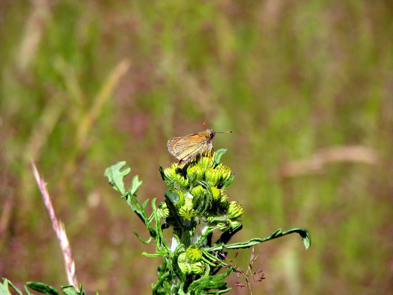 Schwasrzkolbiger Braun-Dickkopffalter (Thymelicus lineola)  04.07.2014