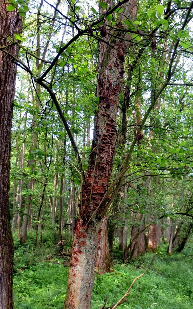 Totholz mit Baumpilzen 25. Mai 2014
