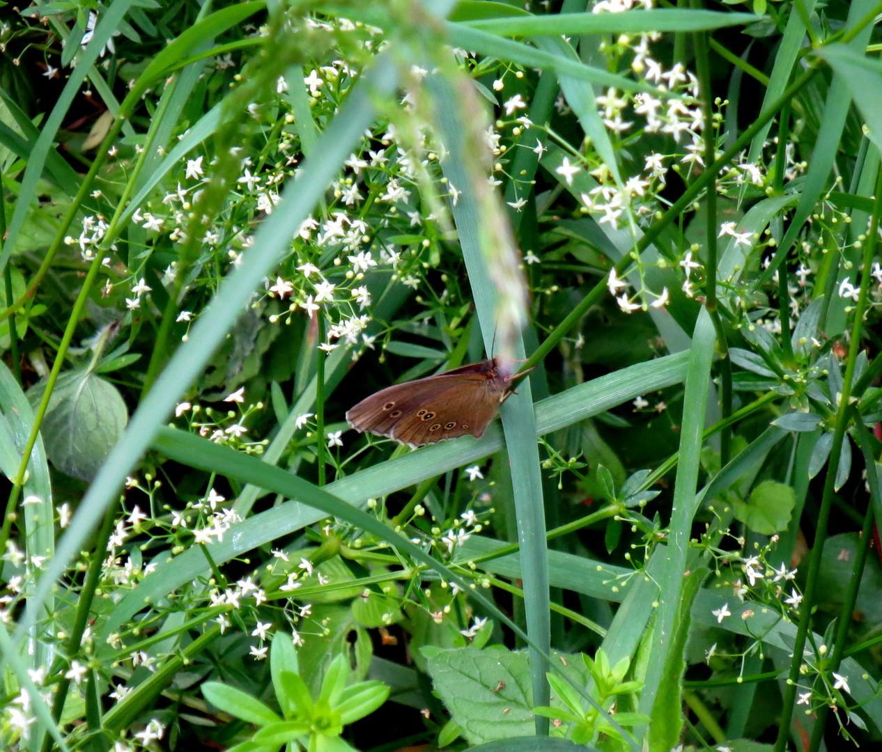 """Brauner Waldvogel (Aphantopus hyperantus) """"Schornsteinfeger""""  23. Juni 2014"""