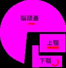 正常咬合者の典型的な頭と顎の骨格
