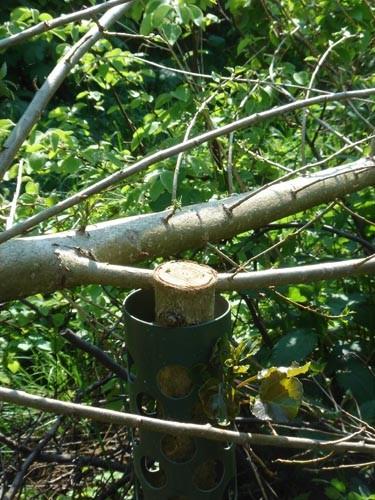 Eines von zahlreichen Beispielen, in denen von uns auf vereinseigenen Flächen in Niedrpoyritz angepflanzte Schwarzpappeln böswillig abgesägt wurden