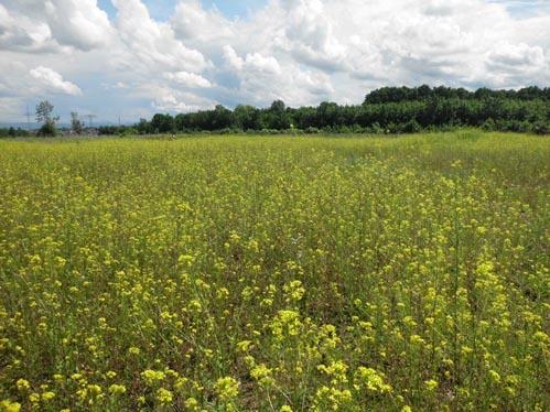 Sommert 2016: Nach der Beseitigung aller Bausubstanz wird die Fläche von der Ruderalpflanze Lösels Rauke dominiert.