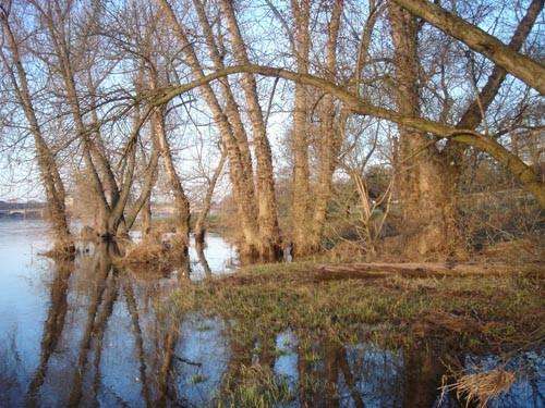 Kleine Auwaldzelle mit Schwarzpappeln (in Sachsen vom Aussterben bedroht!) an der Mündung der  Prießnitz in die Elbe in Dresden-Neustadt.