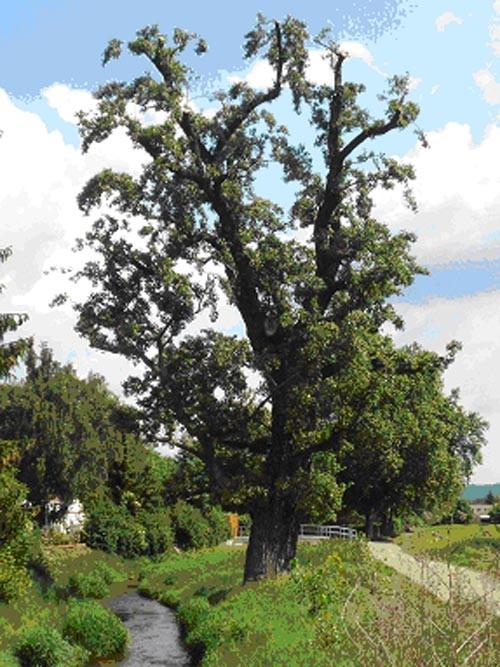 Alte angepflanzte weibliche Schwarzpappel auf unserer Eigentumsfläche  Lockwitzbachaue Niedersedlitz