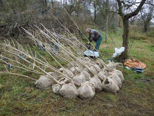 Ausgegrabene Schwarzpappeln in unserer kleinen Baumschule in Dresden-Loschwitz