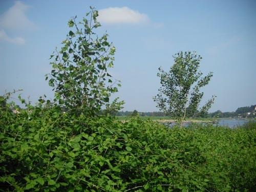 Zwei der von uns in Niederporitz nahe der Elbe gepflanzten Schwarzpappeln, die nun von Brombeergebüsch umgeben sind und es geschafft haben
