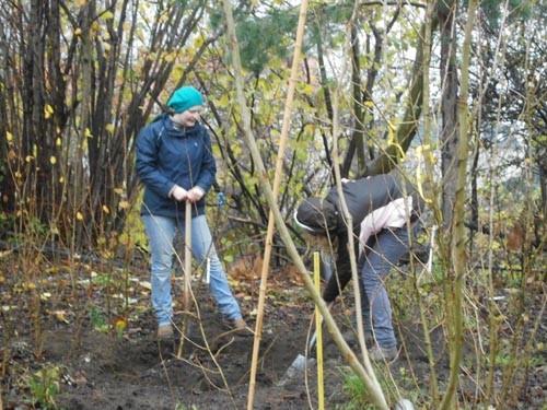 Schwerarbeit: Ausgraben von Pappelpflanzen (Dresden-Plauen)