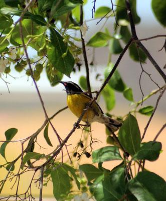 Zuckervogel  - www.urlaub-auf-curacao.net