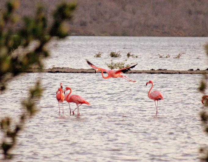 Flamingo  - Urlaub auf Curacao