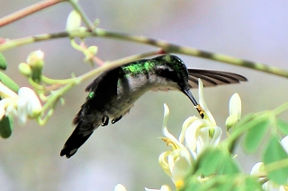 Kolibri-Curacao-Urlaub
