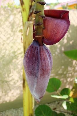 bananenblüte-Ferienhaus-CAS-IGUANA-Urlaub-Curacao-Karibik-Villapark-Fontein