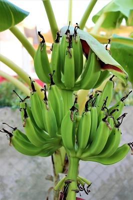 banane-Ferienhaus-CAS-IGUANA-Urlaub-Curacao-Karibik-Villapark-Fontein