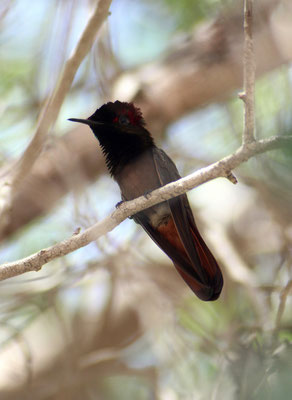 Kolibri - www.urlaub-auf-curacao.net