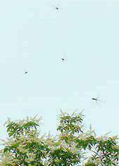 花の周りには ハナバチが蜜を求めて うるさいくらいたくさん。 ハナバチを 食料にするオニヤンマも ぶんぶん飛んでいました。