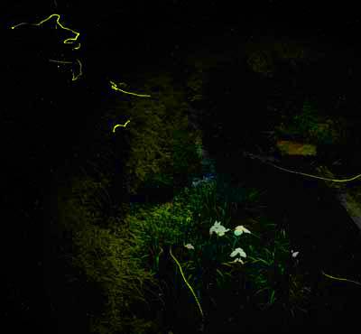 2005年6月11日撮影(レタッチしてあります。4秒露出) 20頭くらい観測しました。観測ポイントB