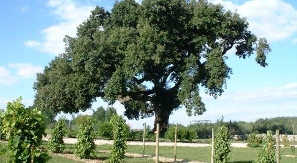 Le chêne de François 1er