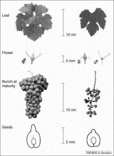 Différences entre Vitis Vinifera et Vitis Sylvestris