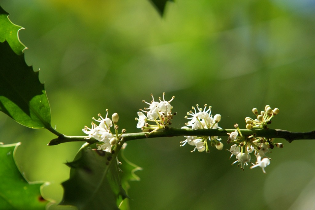 Fleurs de houx