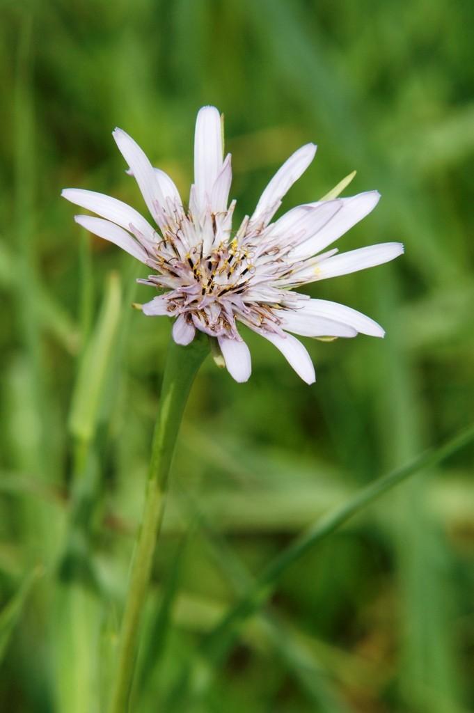 Salsifis en fleur