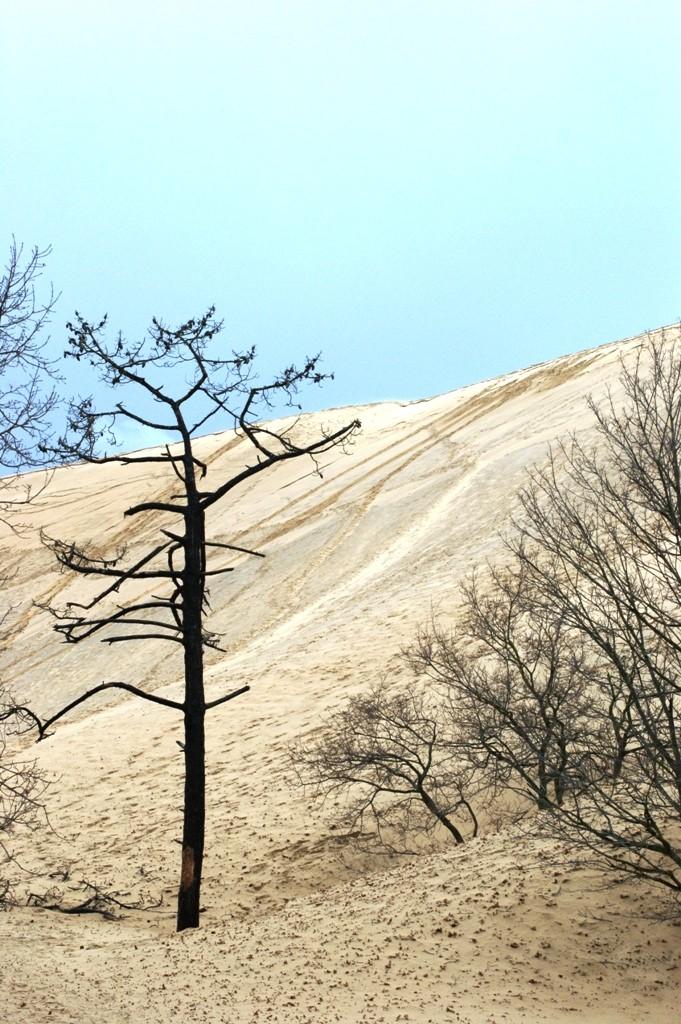 Arbre dévoré par la dune