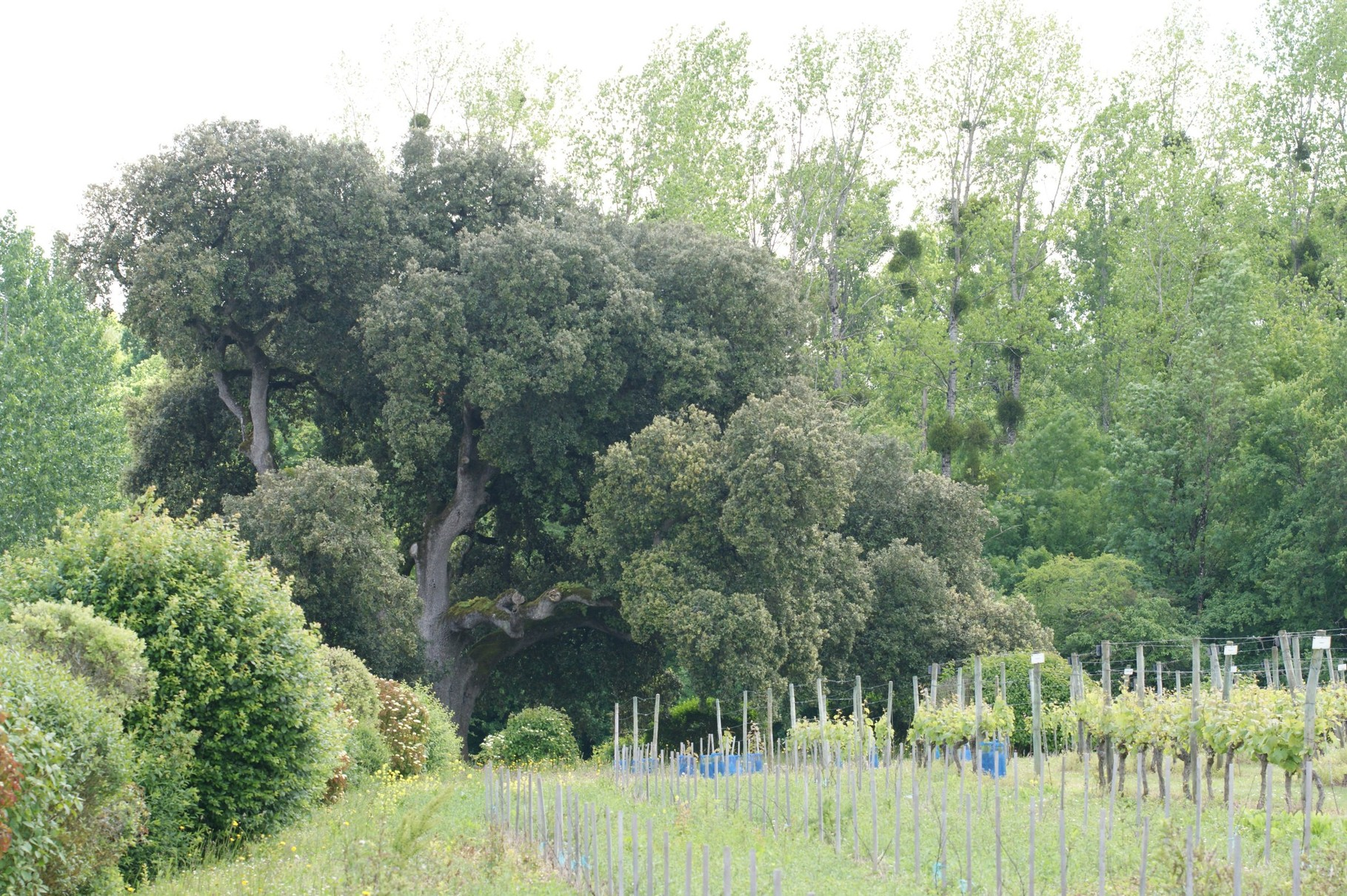le chêne de François 1er à Richemont (16)