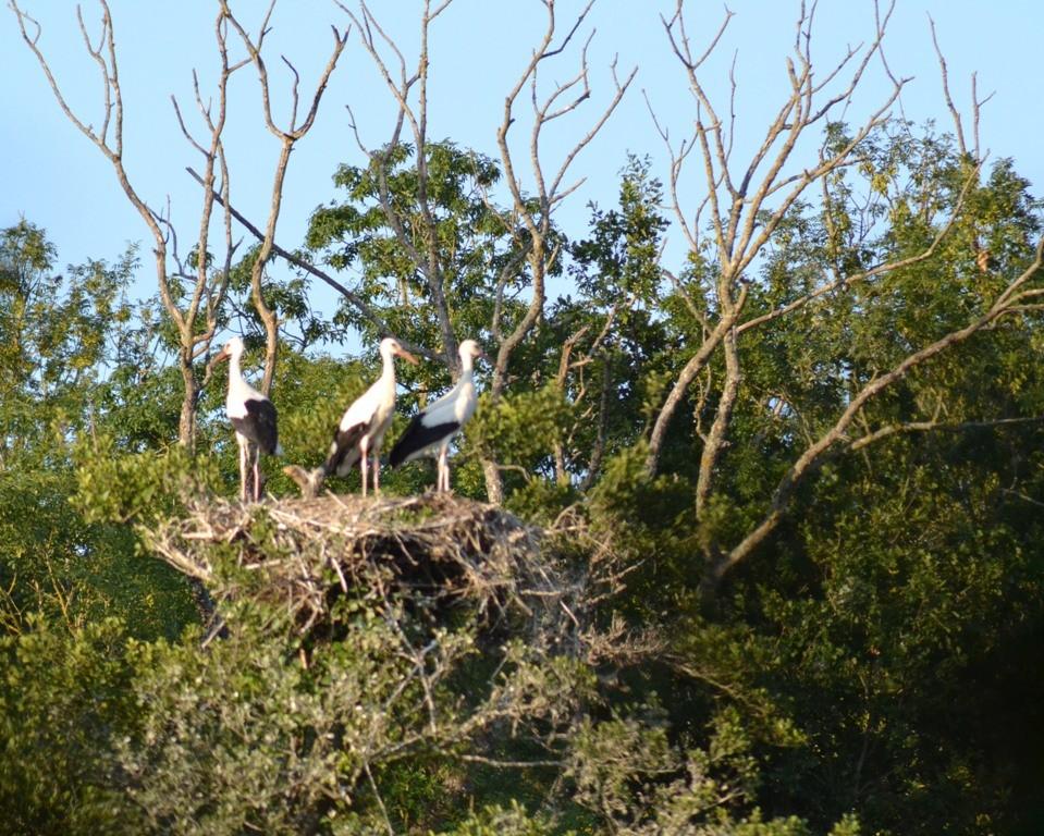 Cigognes blanches