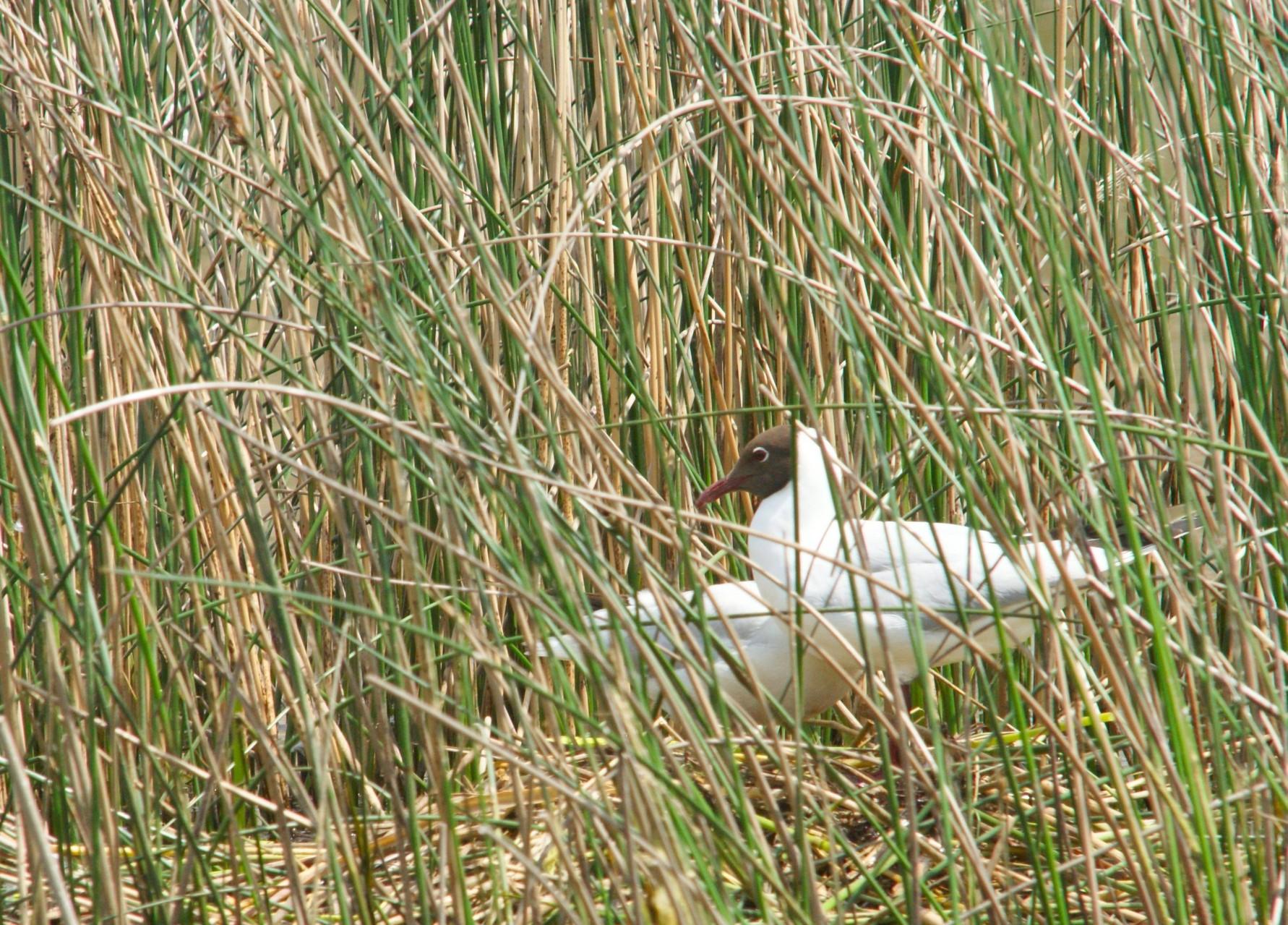 Mouette rieuse au nid