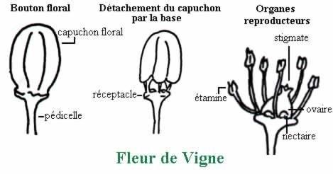Hybridation de la vigne par fécondation