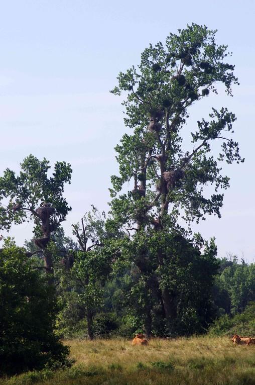 Peuplier peuplé de 27 nids de Cigogne blanche (Ciconia ciconia)
