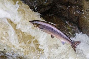 salmon 鮭