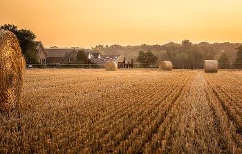 トウモロコシ畑の画像