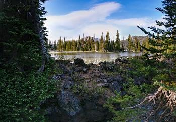 オレゴン松の画像