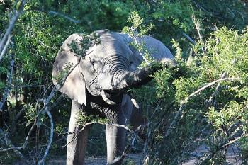 Elephant エレファント
