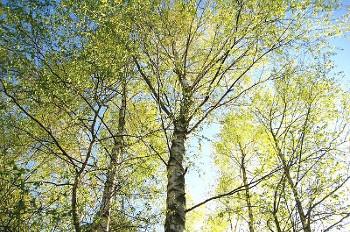 Birch 白樺