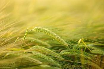 大麦の画像