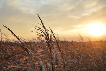 コーン畑の画像