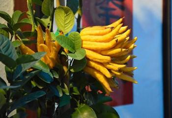 fingered-citron ブッシュカン