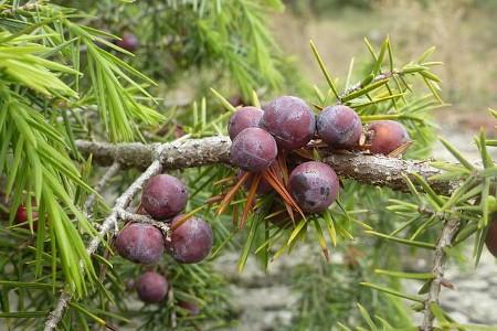 Juniper berry ジュニパーベリー