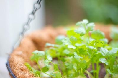 coriander コリアンダー(パクチー)の葉