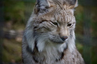 Lynx オオヤマネコ