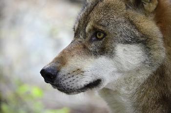 かつては野生のオオカミの生息地