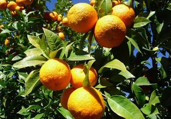 セビルオレンジの画像