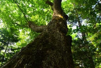 Japanese oak mizunara ミズナラ