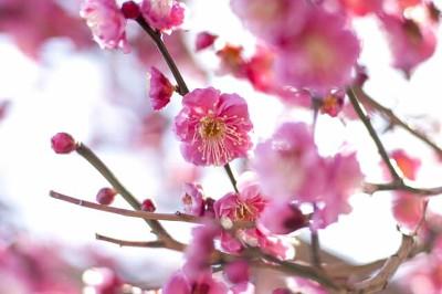 Plum blossom 梅の花