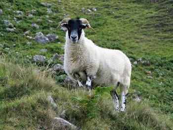 Highlands ハイランド地方の羊