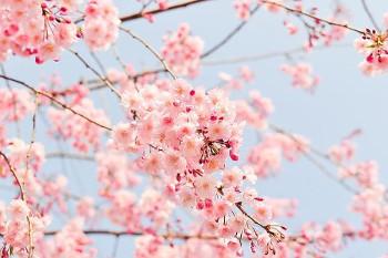Cherry Blossoms 桜